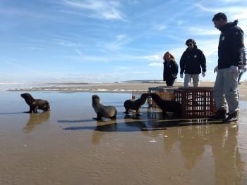 Soltura de animais marinhos no Cassino